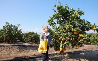 Откуда берутся апельсины
