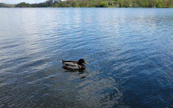 Рурское водохранилище и утки